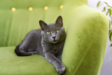 Cute Gray Cat Laying Stretched Out, Relaxing On The Sofa. Portrait Of Elegant Russian Blue Cat.