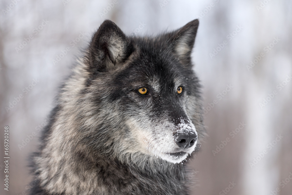 Black Phase Grey Wolf (Canis lupus) Profile Right