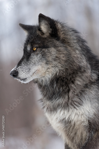 Canvas Prints Wolf Black Phase Grey Wolf (Canis lupus) Profile Vertical