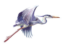Watercolor Single Heron Animal Isolated On A White Background Illustration.