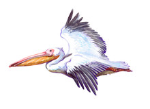 Watercolor Single Pelican Anim...