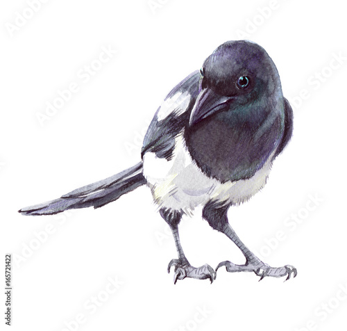 Fototapeta Watercolor single magpie animal isolated on a white background illustration