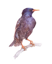 Watercolor Single Starling Animal Isolated On A White Background Illustration.