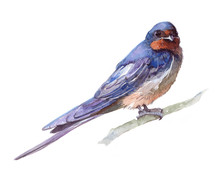 Watercolor Single Swallow Animal Isolated On A White Background Illustration.