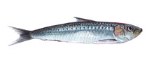 Watercolor Single Sardine Fish...