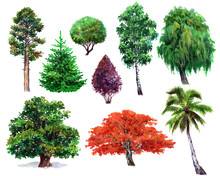 Watercolor Set Of Plants Oak, Bush, Japanese Maple, Willow, Palm, Spruce, Pine, Isolated On A White Background Illustration