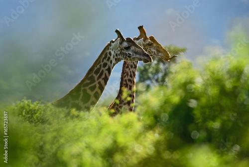 Photo  Giraffe - Giraffa, Kenya, Africa