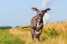 Great Dane Puppy Runs On A Cou...