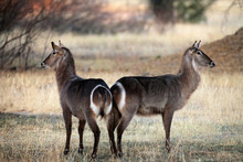 The Waterbuck (Kobus Ellipsiprymnus) Two Female Waterbuck In The Early Morning Light