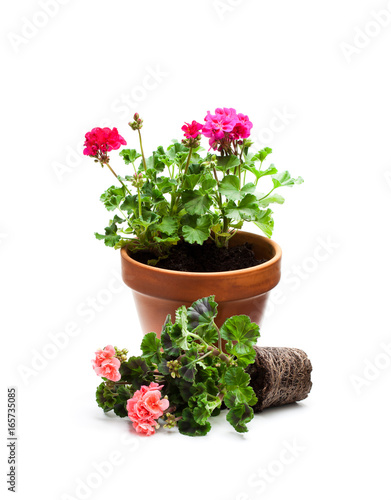 Colorful  Geranium flower ready for planting and flowerpot isolated on white