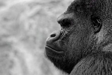 Gorille Profil N&B
