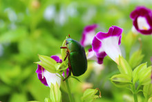Green Beetle Sitting On Purple...