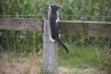 Feral Kitten On A Fencepost In...