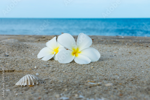 Recess Fitting Plumeria White Plumeria or frangipani flower on the beach.