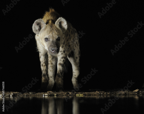 SPOTTED HYAENA (Crocuta crocuta). Largest of the hyaenas at a waterhole at night, Kwazulu Natal.