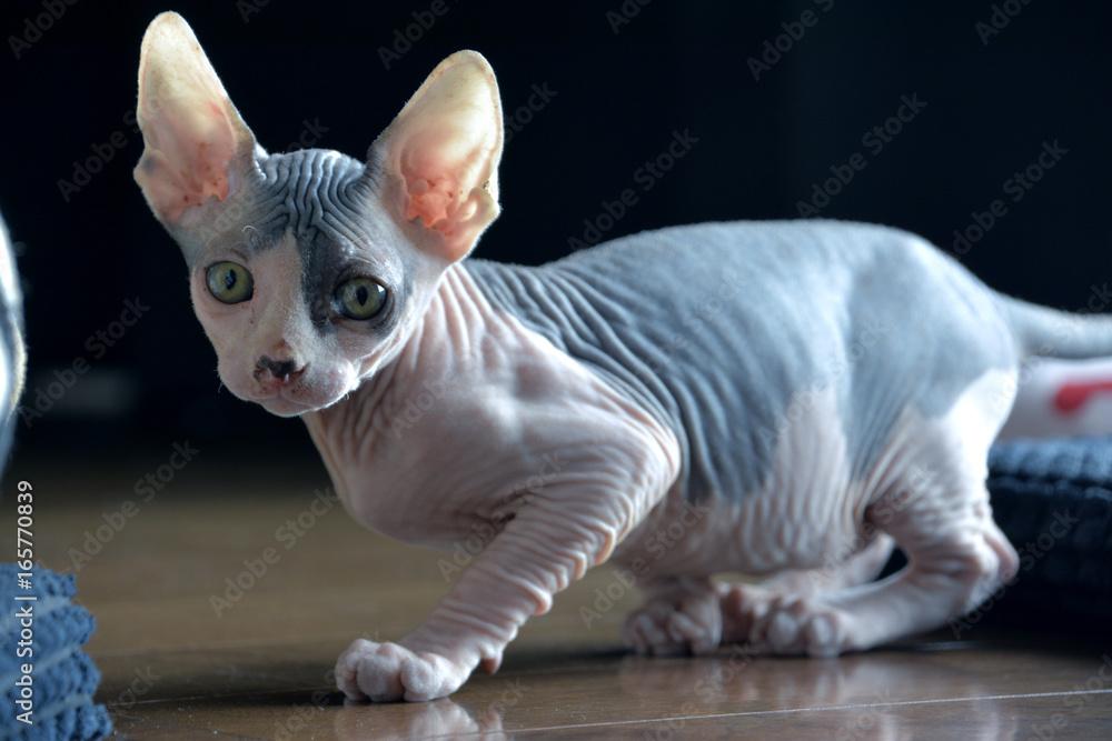 Photo & Art Print Sphynx Cat Exploration Time - 8 Weeks Old