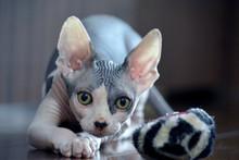 Sphynx Cat Play Time - 8 Weeks...