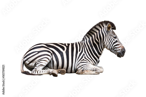 zebra isolated on white background - 165784821