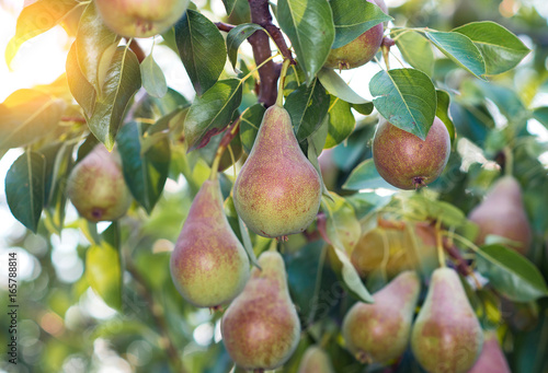 Ripe pears on the branches of a pear tree.