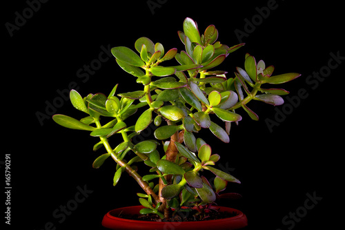 Plakat Grubosza ovata lub pieniądze drzewna tłustoszowata roślina w kwiatu garnku zakończeniu up na czarnym tle