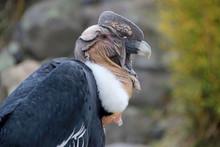Male Andean Condor Portrait, E...