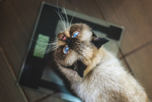 Exotic Shorthair Colorpoint Cat On Scales Looking Up