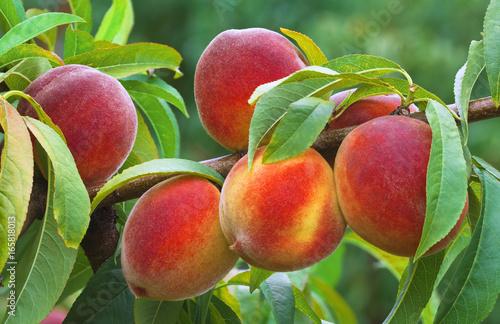 Ripe Peach Branch