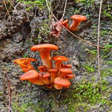 Omphalotus Olearius Mushrooms