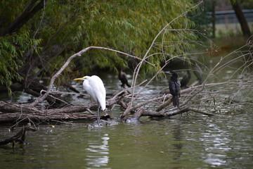 Egret and Cormorants