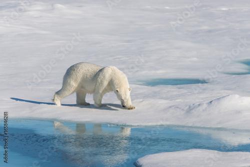 Wall Murals Polar bear Polar bear on the pack ice