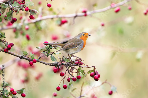 Photo  European robin (Erithacus rubecula) in beautiful soft  sunlight