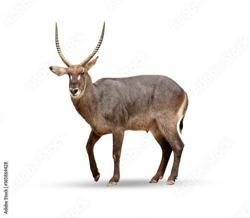 Poster Hert Female sable antelope (Hippotragus niger)