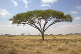 Fototapeta Sawanna - Umbrella tree in Serengeti national park, east africa