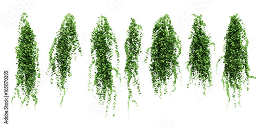 ivy leaves isolated on a white background Poster Mural XXL