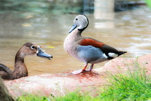 A Male Ringed Teal (Callonetta...
