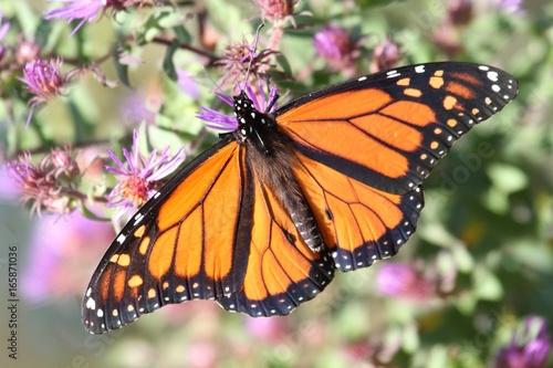 Monarch Butterfly (danaus plexippus) Tapéta, Fotótapéta