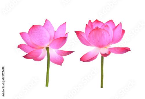 Montage in der Fensternische Lotosblume pink lotus petal flower isolated on white background