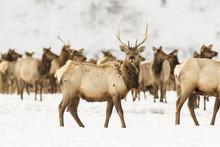 Young Bull Elk In Deep Snow In Winter On National Elk Refuge