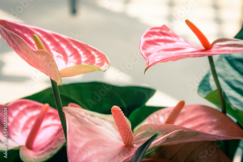 Close up image of pink Flamingo Lilies (Anthurium sonate) Canvas Print