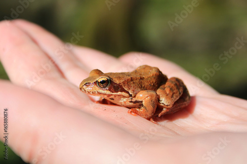 Plakat żaba