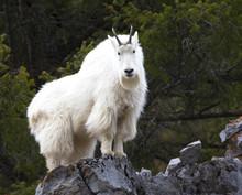 Mountain Goat On Rock Ledge