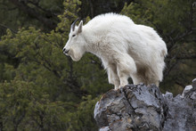Mountain Goat On Rock Ledge