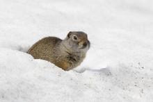 Uinta Ground Squirrel Out Of B...