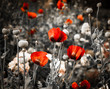 Red poppies on black white vintage background. Toned photo.