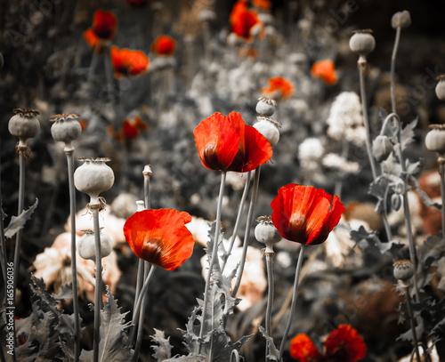 czerwone-maki-na-czarno-bialym