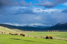 Saftig Grünes Lamar Valley Mit Bison Herde Im Yellowstone Nationalpark, Wyoming