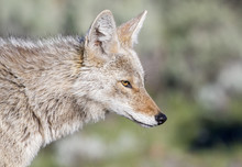 Coyote Portrait With Green Bac...