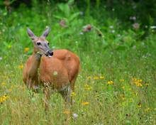 Pregnant Whitetail Deer Eating...