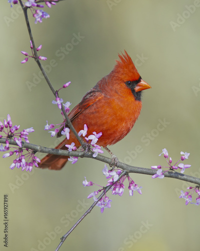 Photo  Cardinal in Red Bud Tree