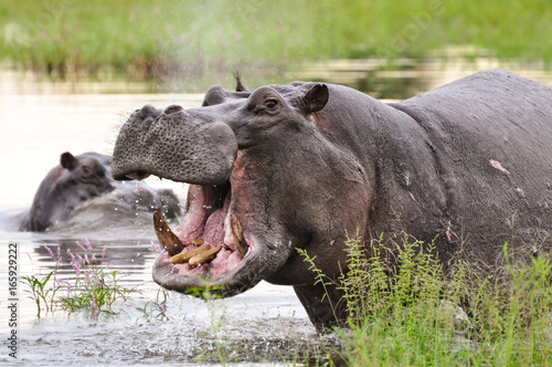 Open Mouth Hippo